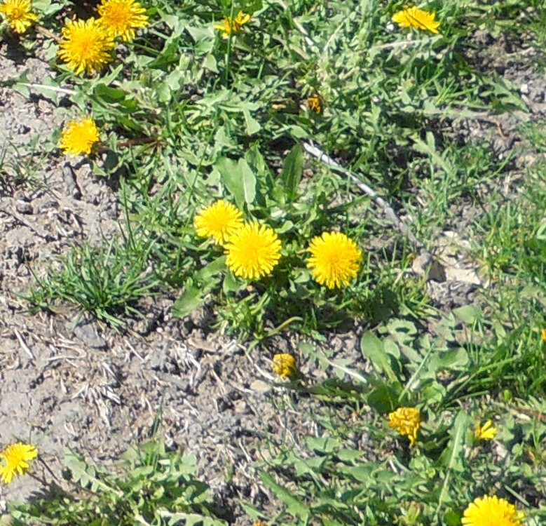 dandelions-in-shoddy-soil