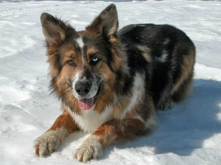 shep-the-australian-shepherd-mix_47418_2010-06-29_w450