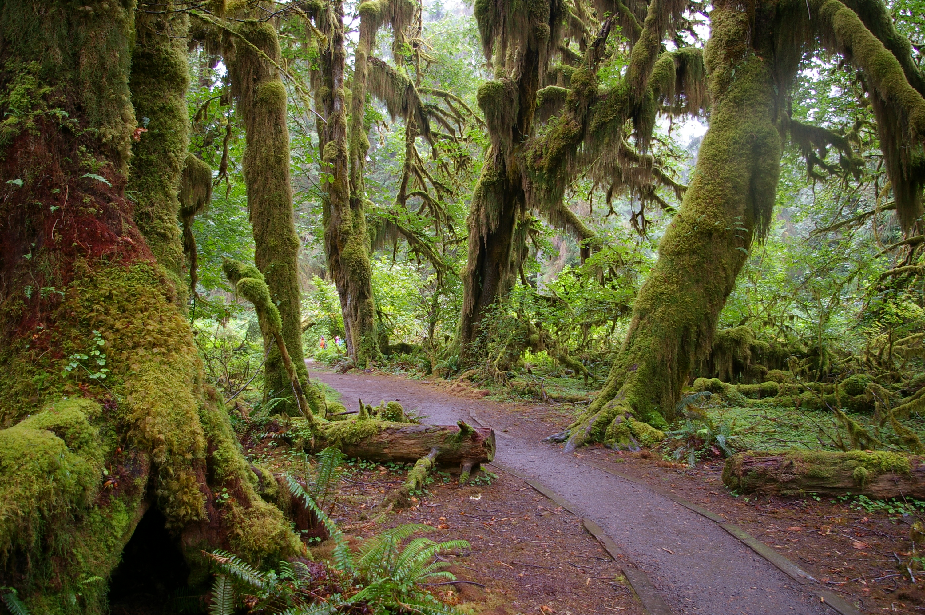 Forks_WA_Hoh_National_Forest_Trail-1
